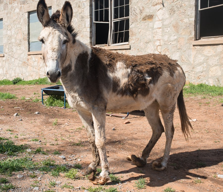 Mr. Donkey wasn't moving around to quickly. He had obviously foundered at some point in the past and now his hooves curl up like some women's fingernails, making it hard for him to walk.